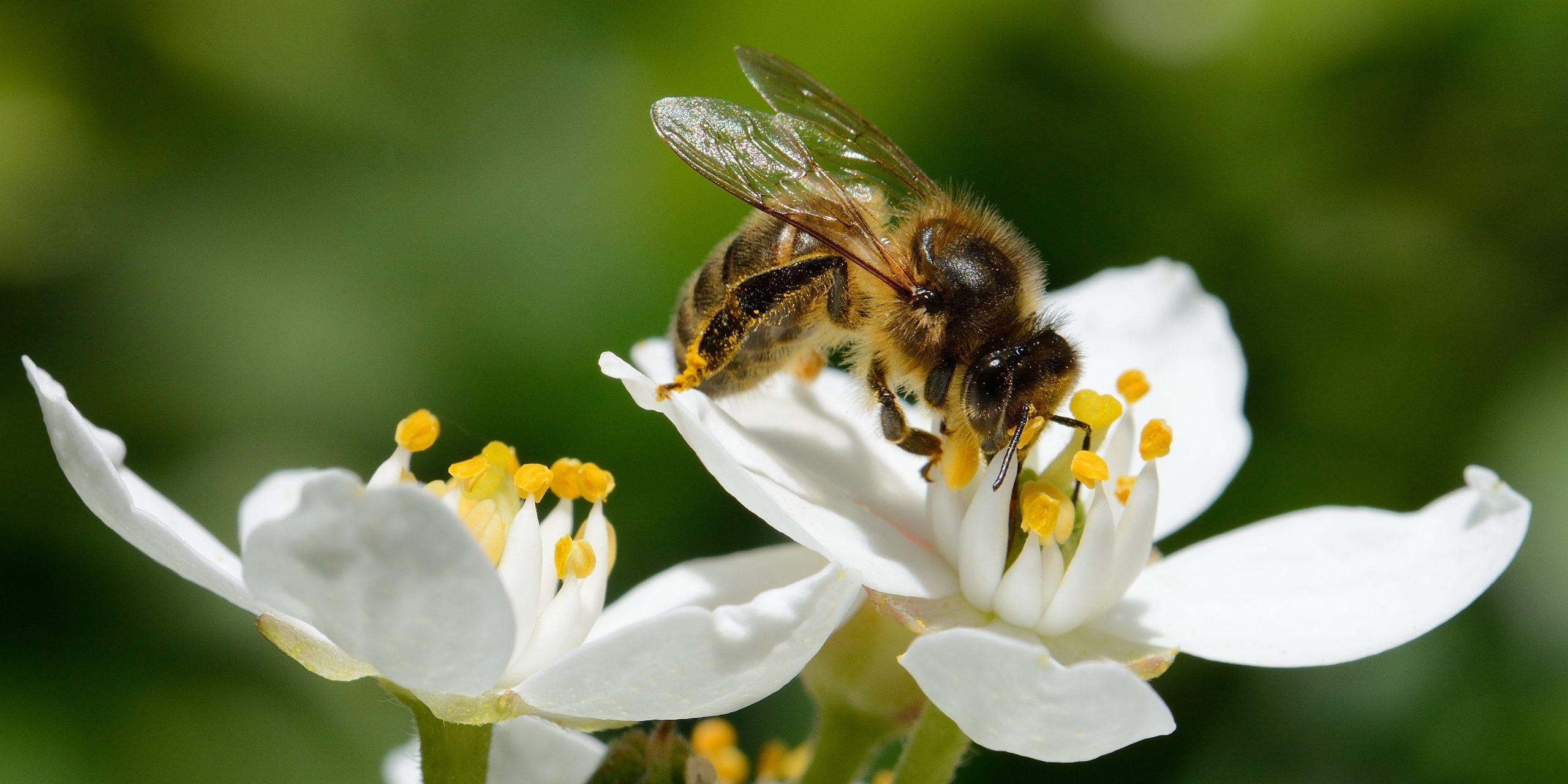 Les abeilles dans le jardin