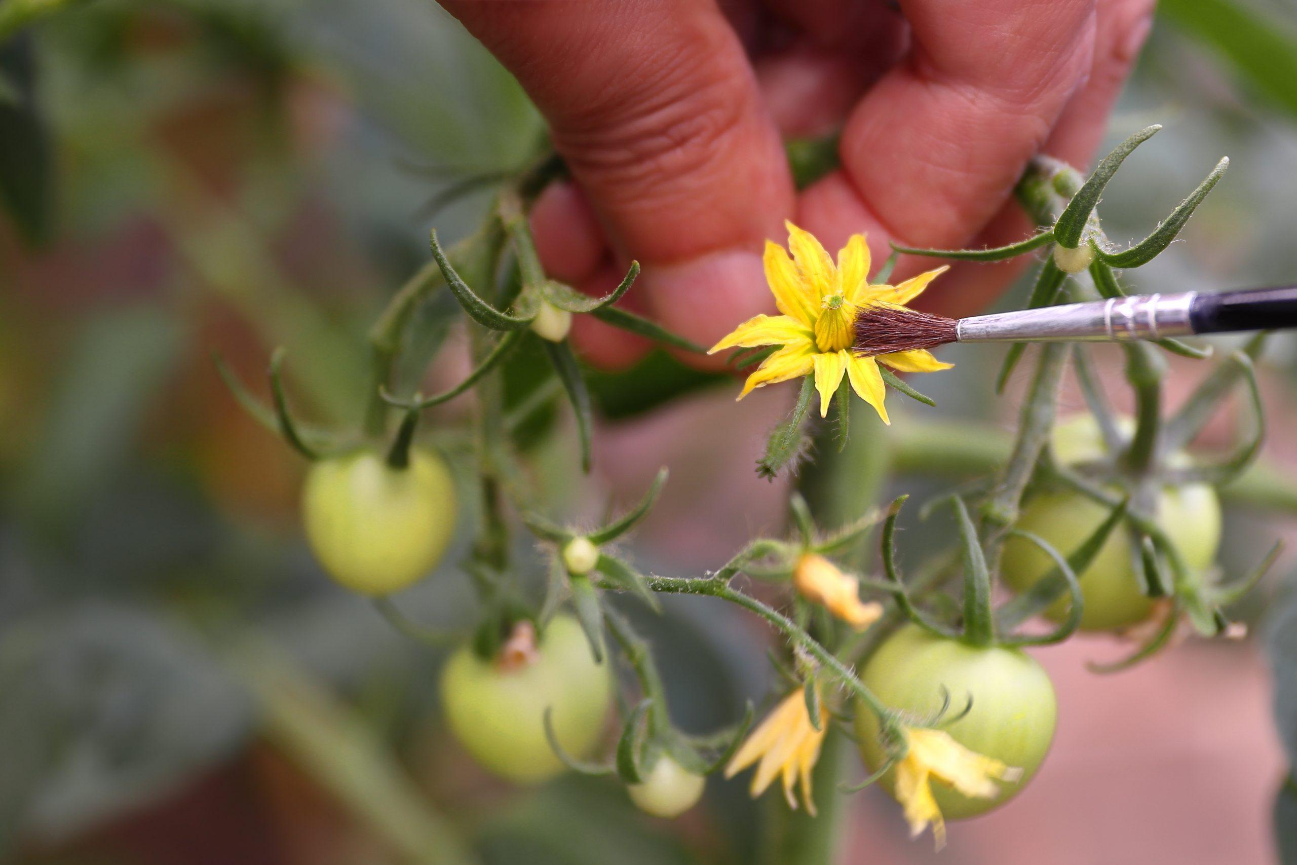 La pollinisation manuelle
